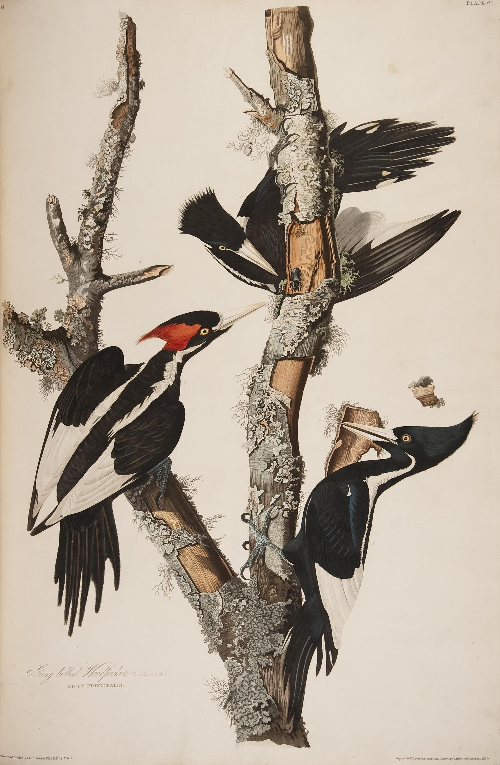 Ivory-Billed Woodpeckers, plate from Audubon's Birds of America
